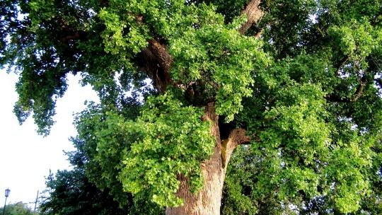 Тюльпанное дерево в Сочи