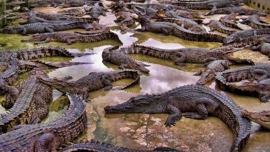 Крокодиловая ферма  - фото 2
