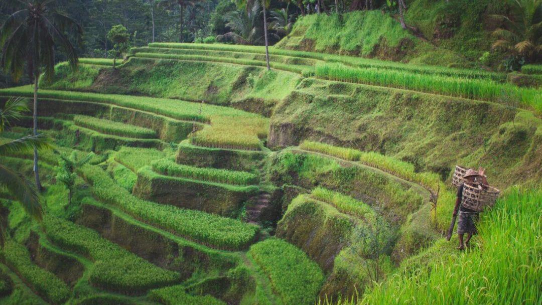 Рисовые террасы Тегаллаланг на Бали