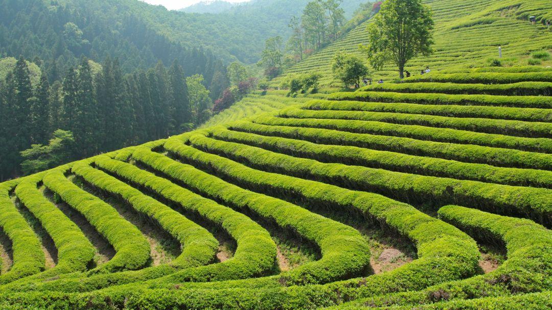 Экскурсия Экскурсия на чайную плантацию