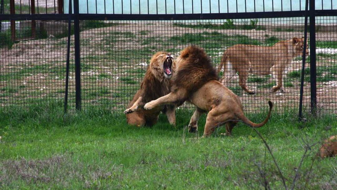 """Парк львов """"Тайган"""" - фото 2"""