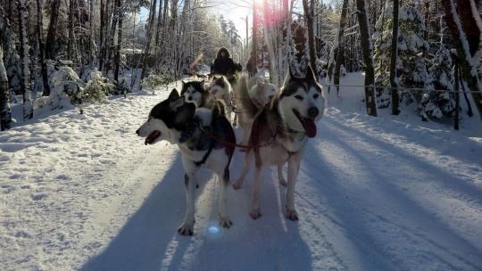 Экскурсия Дог-треккинг (поход с собаками)+ экскурсия по центру питомника в Санкт-Петербурге