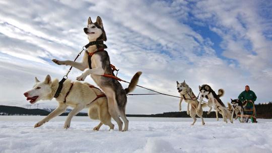 Путешествие по зимней тундре в санях за Хаски - фото 2