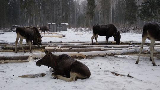 Лоси — хозяева костромских лесов - фото 2