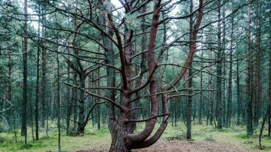 Танцующий лес в Калининграде