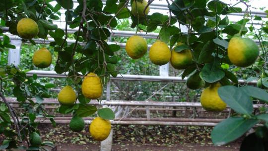 Уфимский лимонарий в Уфе
