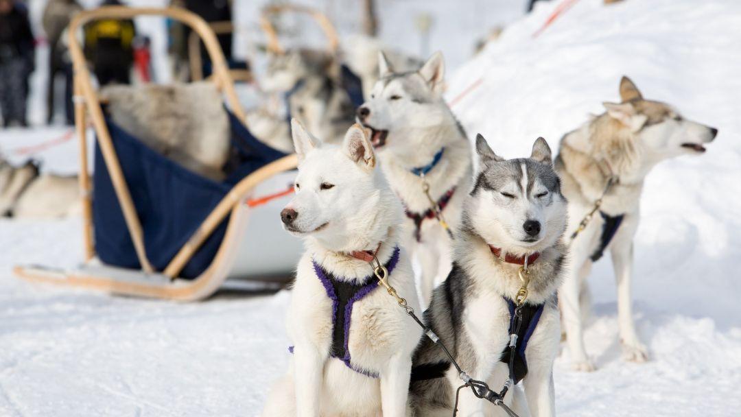 Питомник ездовых собак, оленья ферма в местечке Aho! в Петрозаводске