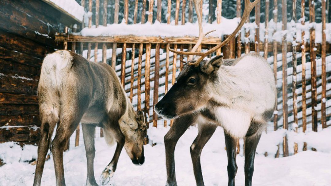 В гости к хаски и карельскому Деду Морозу - фото 2