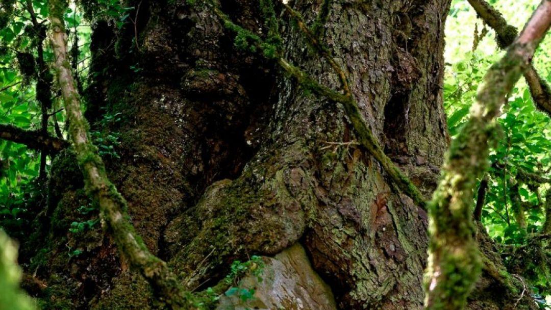 Тисо-самшитовая роща – гора Ахун - фото 2