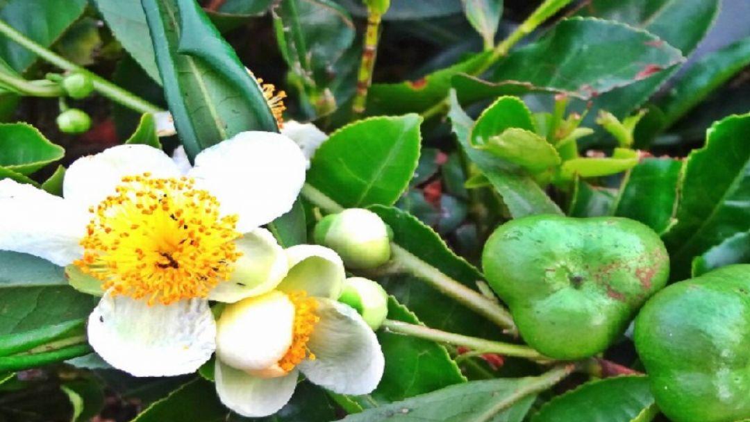 Хостинский чай — производственная экскурсия с дегустацией