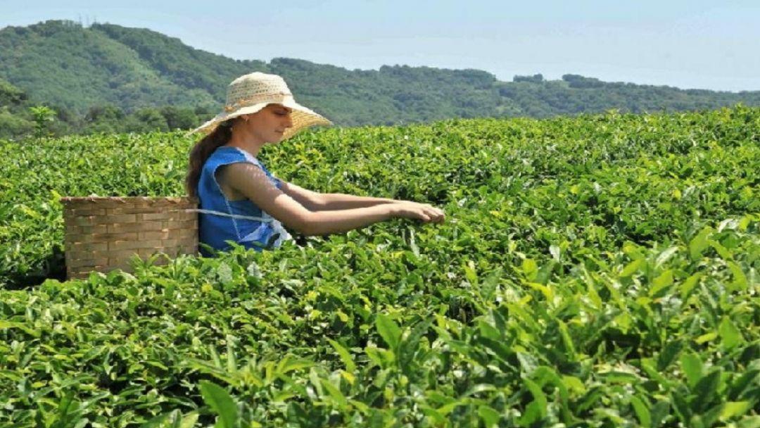Хостинский чай — производственная экскурсия с дегустацией - фото 2