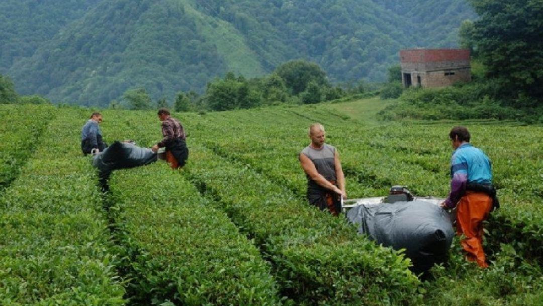 Хостинский чай — производственная экскурсия с дегустацией - фото 4