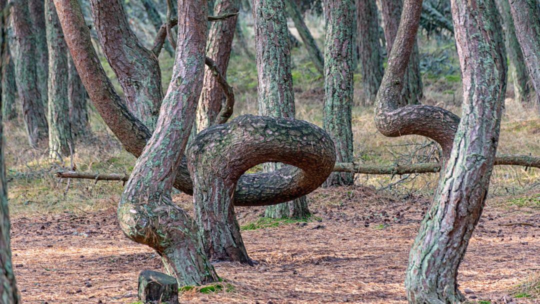 Куршская коса - дорога в дюны - фото 4