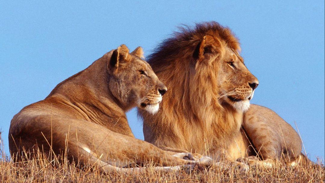 В гостях у человека льва