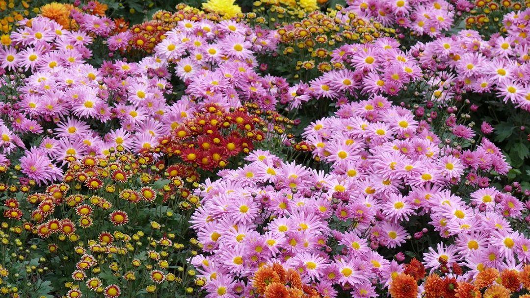 Последний день октября: мороженое и хризантемы - фото 2